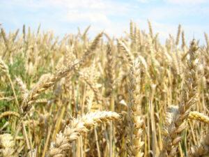 Grain Weed